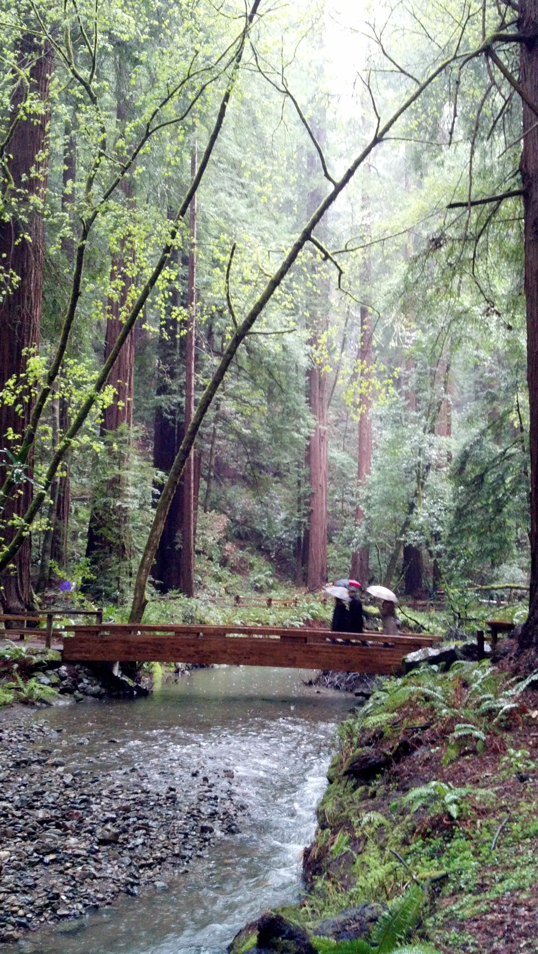 A bridge in the Redwood Forest
